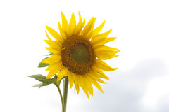 Sunflower. A beautiful yellow sunflower on a sky background Stock Photos