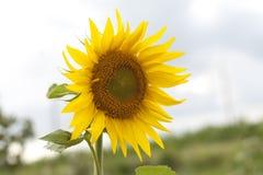 Sunflower. A beautiful yellow sunflower on a sky background stock photos