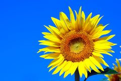 Sunflower. Closeup of a beautiful sunflower in the sun against the blue sky Stock Images