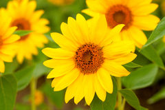 Sunflower. In a field of s Royalty Free Stock Images