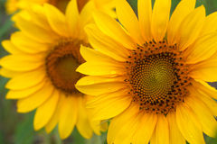 Sunflower. In a field of s Royalty Free Stock Photos