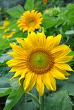 Sunflower. Yellow flower with delicate petals in summer stock photo