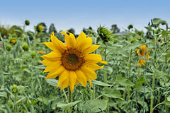 Sunflower. Bright and fresh sunflower in summer with a vibrant blue sky Royalty Free Stock Photo