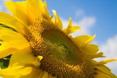Sunflower. Against the blue sky Stock Photos