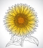 Sunflower. Beautiful sunflower line art on white background Royalty Free Stock Photos