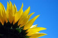 Sunflower. 1/4 of sunflower Royalty Free Stock Image