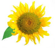 Sunflower. Bright sunflower with waved petals Stock Photos
