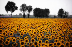 Sunflower. Field with some trees in the background stock images