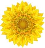 Sunflower. Over white. Vector illustration, EPS 8 Royalty Free Stock Photo