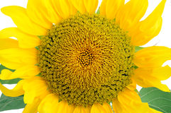 Sunflower. With waved petals over white royalty free stock photo