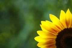 Sunflower. Yelloy sunflower onthe green background Stock Photography