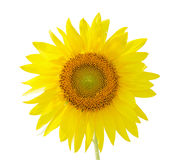 Sunflower. A photograph of a flourishing sunflower isolated on white background Royalty Free Stock Photography