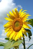 Sunflower. Yellow sunflowers under a blue sky Stock Photography