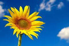 Free Sunflower Royalty Free Stock Image - 15762506