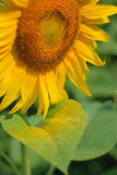 Sunflower. Fragment with pollen on the leaves Stock Images