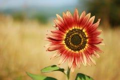Sunflower. Exotic red sunflower sunny morning Stock Photos