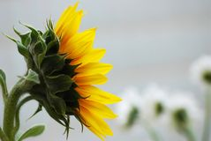 Sunflower. Template for greeting card Stock Image