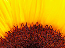 Sunflower. Half of a sunflower-detail Stock Photos