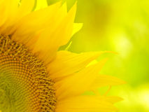 Sunflower. Flowering in the garden royalty free stock image
