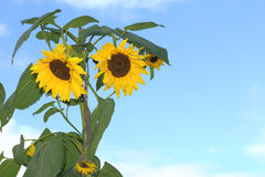 Sunflower. Stock Photos