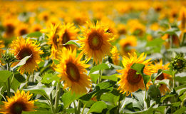 Sunflower. Field of yelow sunflowers at daytime Royalty Free Stock Images