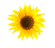Sunflower. Beautiful fresh sunflower on white background stock photos