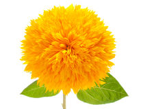 Sunflower. Ornamental sunflower on a white background Royalty Free Stock Images