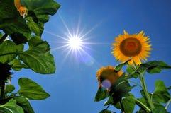 Sunflower. Under hot summer sun in a blue sky Stock Photos