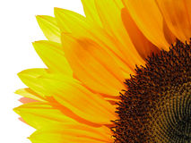 Sunflower. Isolated royalty free stock image