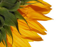 Sunflower. Isolated royalty free stock photography