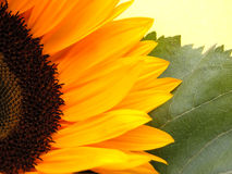 Sunflower. Details royalty free stock images