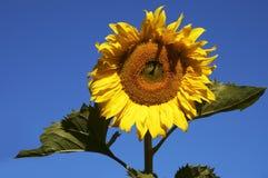 The sunflower. Vivid sunflower Stock Photos