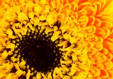 Sunflower. A close up of a bright yellow blooming dwarf sunflower stock photography