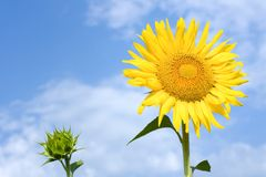Sunflower. Yellow sunflower, blue sky with white clouds Stock Photos