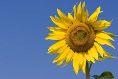 Sunflower. Series Royalty Free Stock Photos