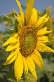 Sunflower. Series Stock Photo