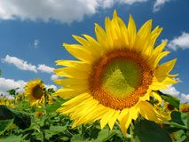 Sunflower. Beautiful yellow sunflowers somewhere in Europe Stock Image
