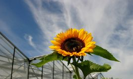 Sunflower. In front of greenhouse Royalty Free Stock Photo