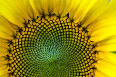 Free Sunflower Stock Image - 17698631