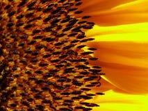 Sunflower. Macro shot of Sunflower Stock Image