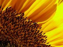 Sunflower. Macro shot of sunflower in sunshine Stock Photos