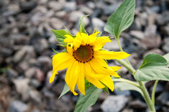 Sunflower. Young flower of a sunflower against stones Royalty Free Stock Image