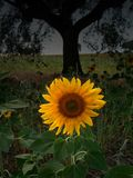 Sunflower. Rural composition with a closeup view of a sunflower stock photography