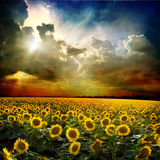 Sunflower. Field of sunflower against the sky Royalty Free Stock Photo