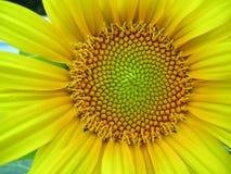 Sunflower. In my garden Stock Photos