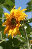 Sunflower. Santa Cruz, California, USA Royalty Free Stock Images