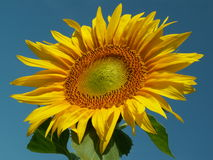 Sunflower. KONICA MINOLTA DIGITAL CAMERA stock images