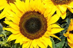 Sunflower. A Sunflower royalty free stock image