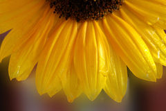 Sunflower. A fresh sunflower in morning light Royalty Free Stock Photography