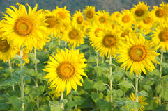 Sunflower. Beautiful sunflower in the field Stock Image